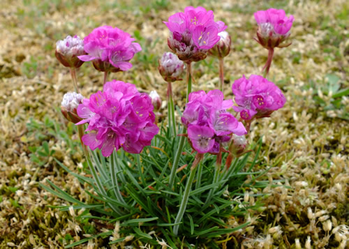 Thrift: PLUMBAGINACEAE. Sea-lavenders, Thrifts.