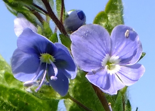 Bellflower: CAMPANULACEAE. Mulleins, Figwort, Monkeyflower, Toadflaxes, Speedwells, Yellow Rattle.